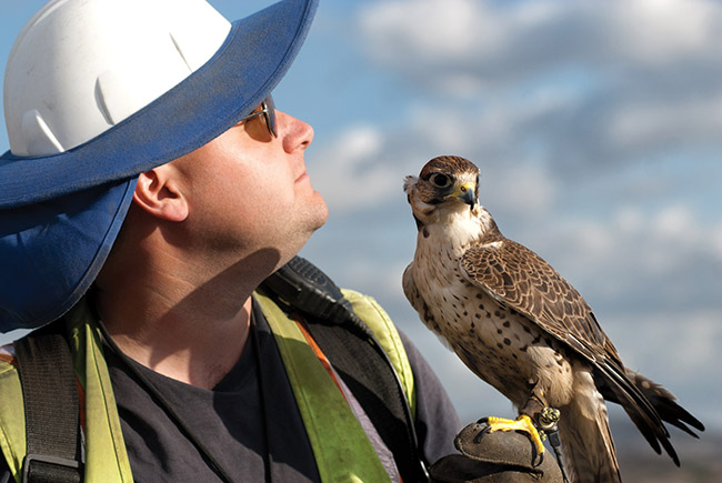 Landfill Falconry Program