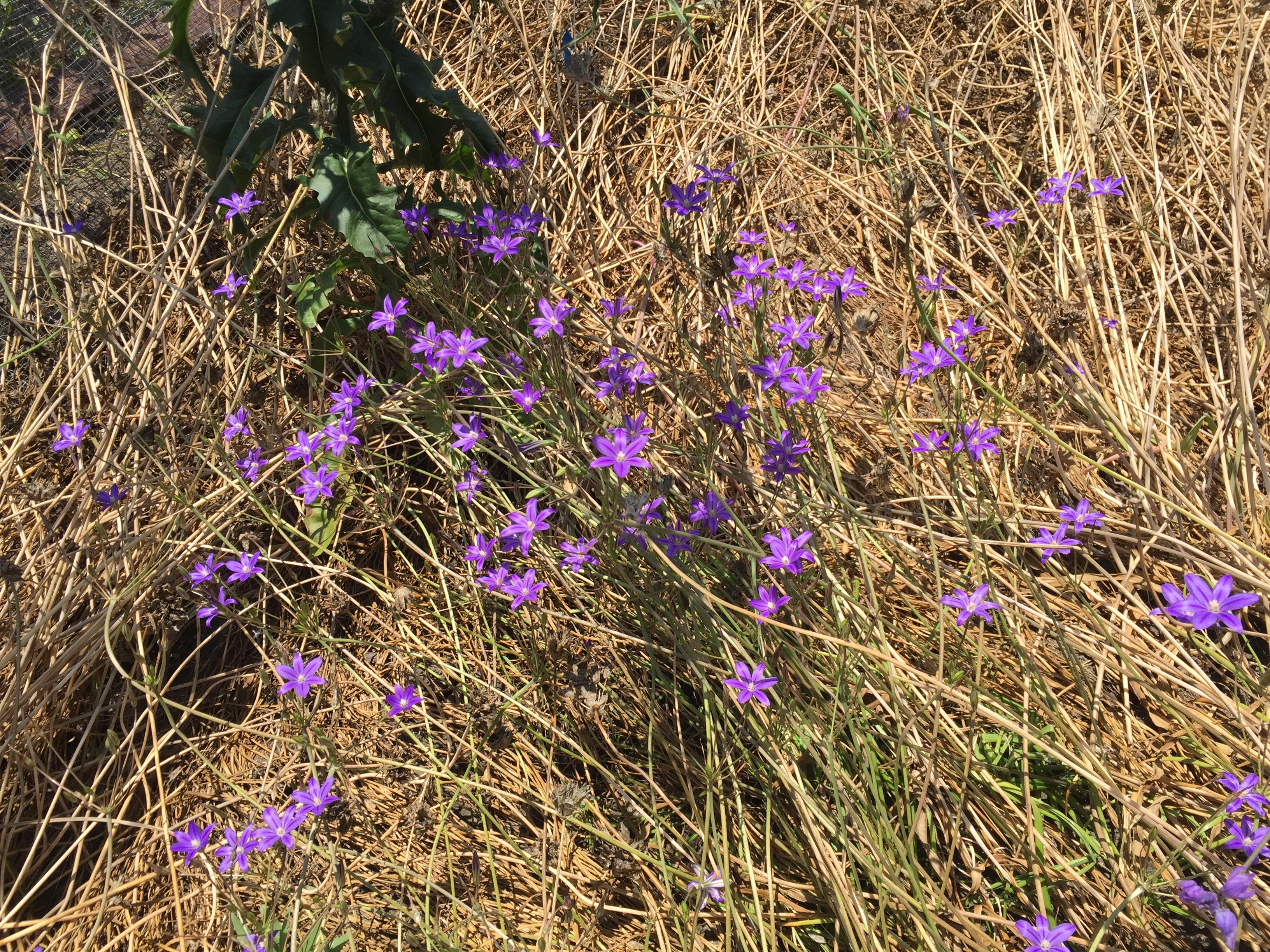 Brodiaea blooming