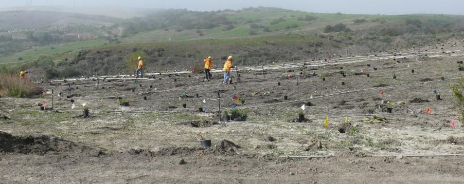 Segunda planting