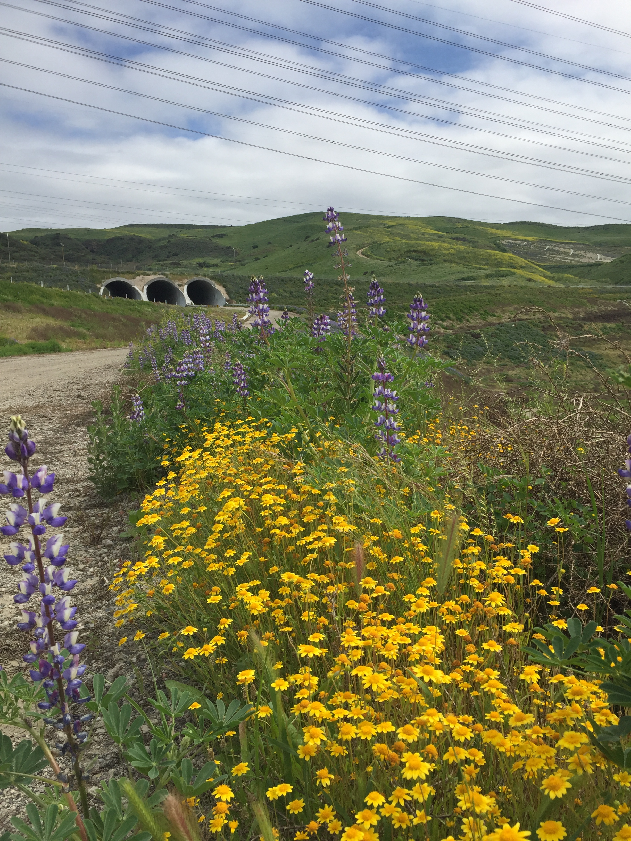 goldfields & lupines with tunnels