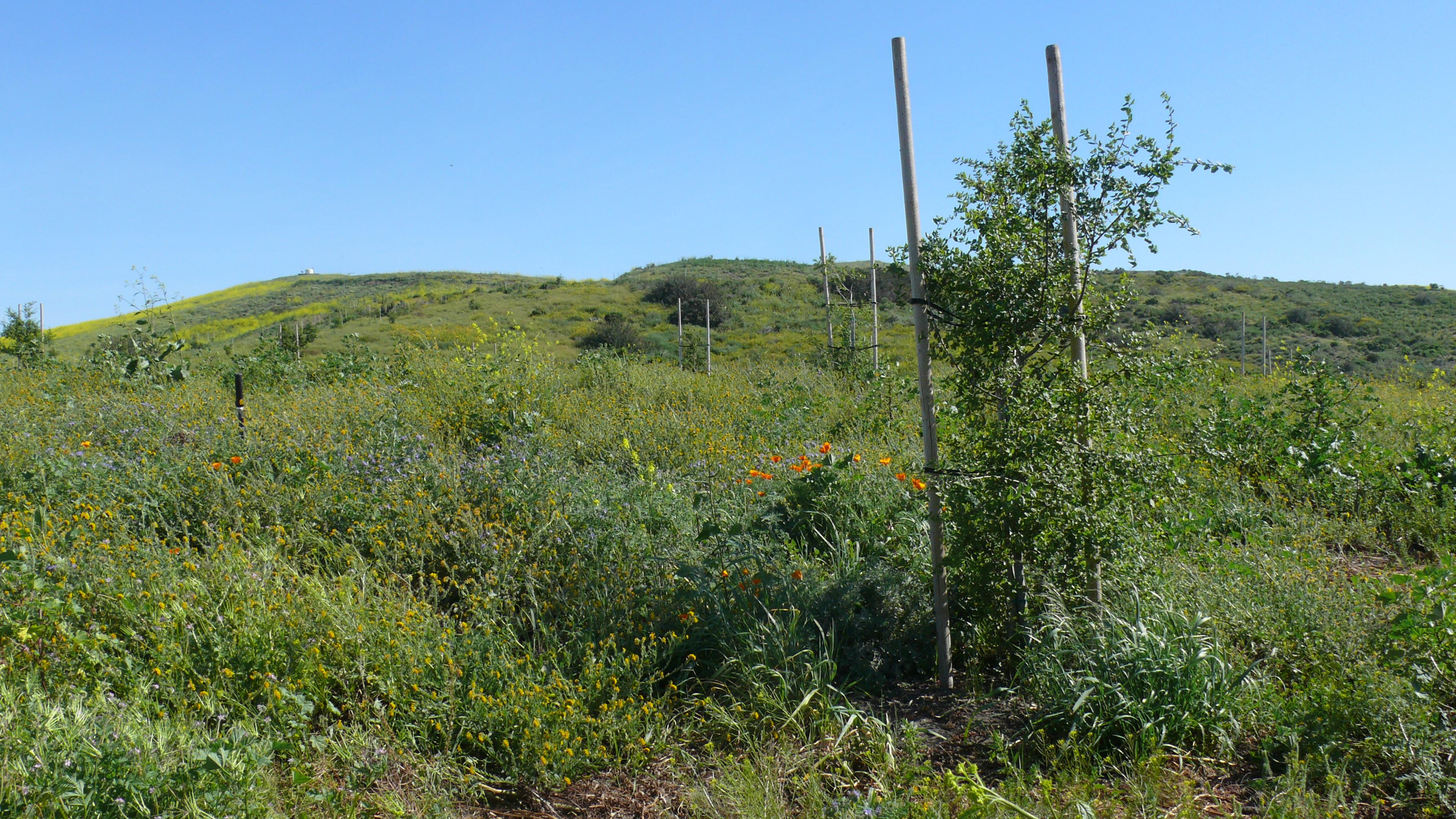 segunda viewshed oak trees with wildflowers